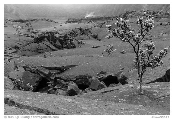 Ohelo trees and fractures on Kilauea Iki crater floor. Hawaii Volcanoes National Park (black and white)