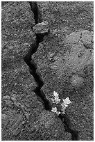 Shrub and crack, Kilauea Iki crater. Hawaii Volcanoes National Park, Hawaii, USA. (black and white)