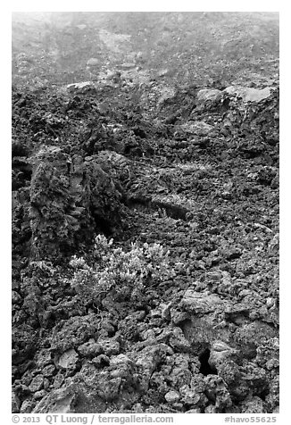 Ohelo shrub and chaotic lava, Kilauea Iki crater. Hawaii Volcanoes National Park (black and white)