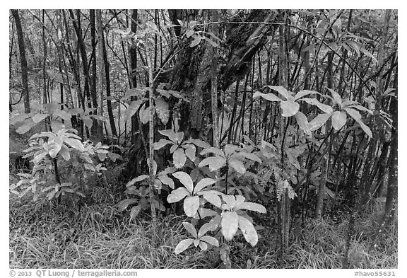 Kolea plants and Ohia tree, Kīpukapuaulu. Hawaii Volcanoes National Park (black and white)