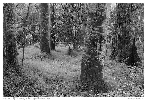 Old-growth forest of koa on kipuka. Hawaii Volcanoes National Park (black and white)
