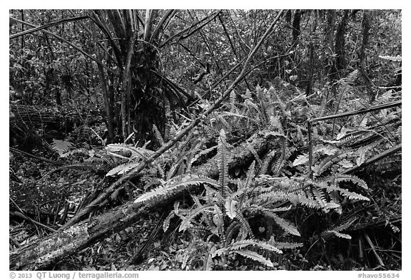 Upland mesic forest oasis, Kīpukapuaulu. Hawaii Volcanoes National Park (black and white)