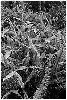 Ferns, Kīpukapuaulu. Hawaii Volcanoes National Park, Hawaii, USA. (black and white)