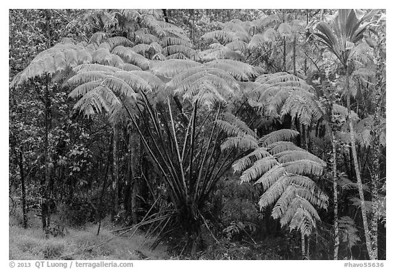 Giant ferns in Kipuka Puaulu old growth forest. Hawaii Volcanoes National Park (black and white)
