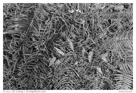 Ground close-up with ferns, grasses, and fallen koa leaves. Hawaii Volcanoes National Park (black and white)
