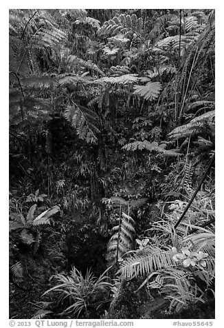 Ferns above lava skylight. Hawaii Volcanoes National Park (black and white)
