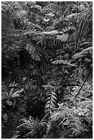 Ferns above lava skylight. Hawaii Volcanoes National Park, Hawaii, USA. (black and white)