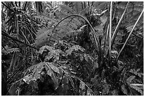 Giant tree ferns glistering with rainwater. Hawaii Volcanoes National Park, Hawaii, USA. (black and white)