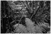 Ferns in lush rainforest. Hawaii Volcanoes National Park, Hawaii, USA. (black and white)