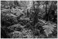 Hapuu (Cibotium menziesii). Hawaii Volcanoes National Park, Hawaii, USA. (black and white)