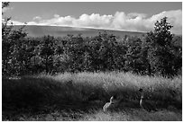 Nene birds and Mauna Loa. Hawaii Volcanoes National Park ( black and white)