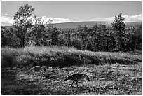 Nenes and Mauna Loa. Hawaii Volcanoes National Park ( black and white)