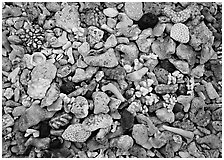 Beached coral, Tau Island. National Park of American Samoa ( black and white)