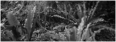 Old World tropical rainforest plants, Tau Island. National Park of American Samoa (Panoramic black and white)