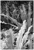 Ferns in coastal paleotropical rainforest, Tau Island. National Park of American Samoa (black and white)