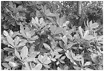 Leaves in tropical forest, Tutuila Island. National Park of American Samoa ( black and white)