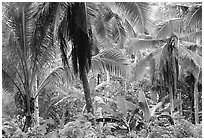Mix of native and planted tropical plants, Tutuila Island. National Park of American Samoa ( black and white)