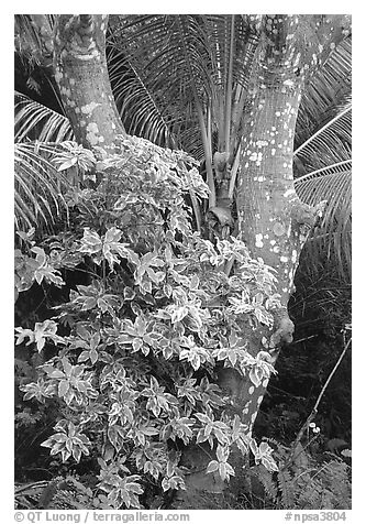 Tropical tree trunk, Tutuila Island. National Park of American Samoa (black and white)
