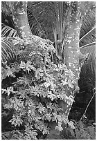 Tropical tree trunk, Tutuila Island. National Park of American Samoa ( black and white)