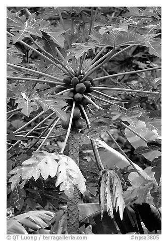 Tropical tree branches and fruits, Tutuila Island. National Park of American Samoa (black and white)