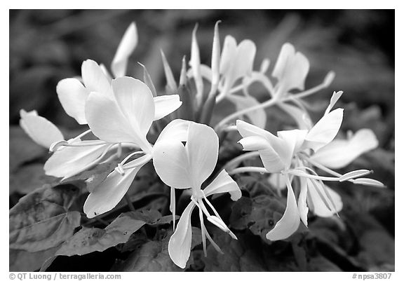 Tropical yellow flower, Tutuila Island. National Park of American Samoa (black and white)