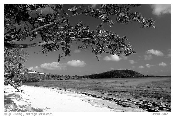 Tropical Almond (Terminalia catappa), beach on Hawksnest Bay. Virgin Islands National Park (black and white)