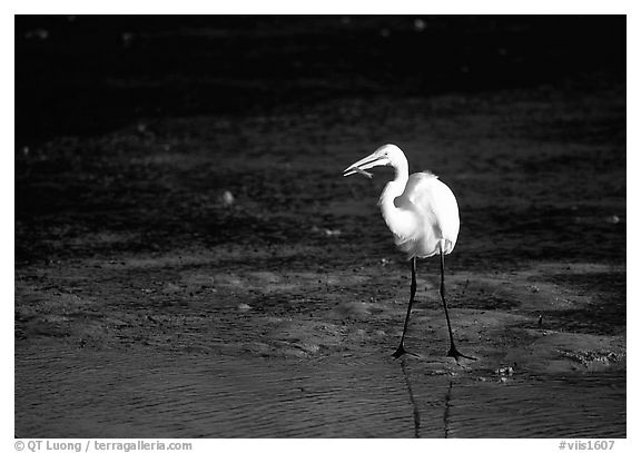 Great white egret. Virgin Islands National Park (black and white)