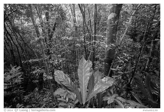 Moist sub-tropical forest, Reef Bay Valley. Virgin Islands National Park (black and white)