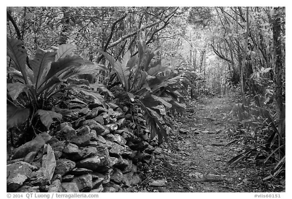 Trail and overgrown rock wall. Virgin Islands National Park (black and white)