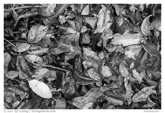 Ground close-up of fallen leaves. Virgin Islands National Park (black and white)