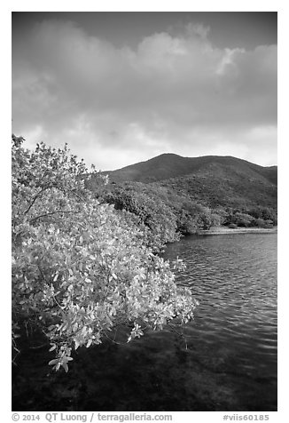 Shore tree, Great Lameshur Bay, and green hills. Virgin Islands National Park (black and white)