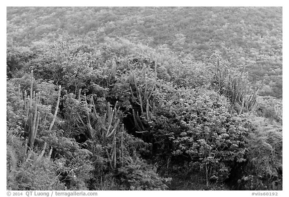Cactus and green hillside, Yawzi Point. Virgin Islands National Park (black and white)