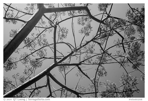 Looking up flamboyant tree (Delonix regia). Virgin Islands National Park (black and white)