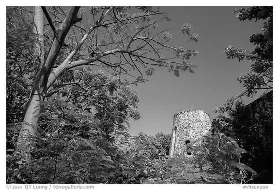 Tower framed by Royal Poinciana tree, Annaberg Sugar Mill ruins. Virgin Islands National Park (black and white)