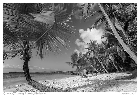 Palm trees on Salomon Beach. Virgin Islands National Park (black and white)