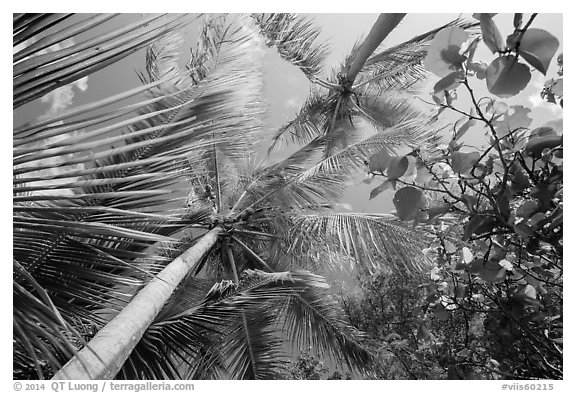Looking up palm trees. Virgin Islands National Park (black and white)