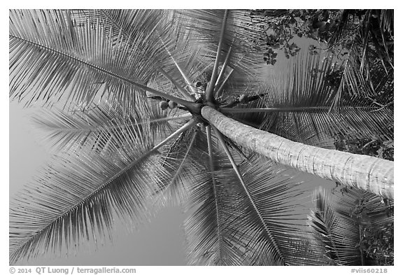 Looking up coconut, Salomon Bay. Virgin Islands National Park (black and white)