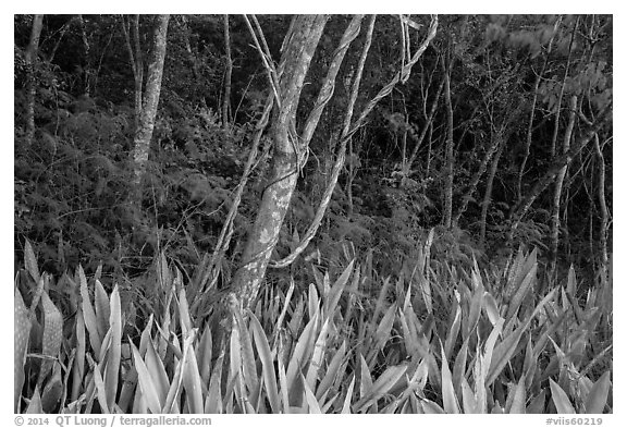 Edge of forest, Salomon Bay. Virgin Islands National Park (black and white)