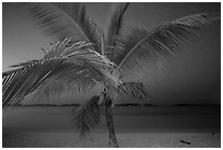 Palm tree and beach at night, Salomon Beach. Virgin Islands National Park ( black and white)