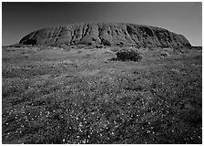 Flowers and Ayers Rock. Uluru-Kata Tjuta National Park, Northern Territories, Australia (black and white)