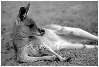 Kangaroo laying on its side. Australia (black and white)