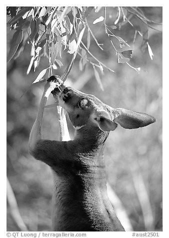 Kangaroo reaching for leaves. Australia (black and white)