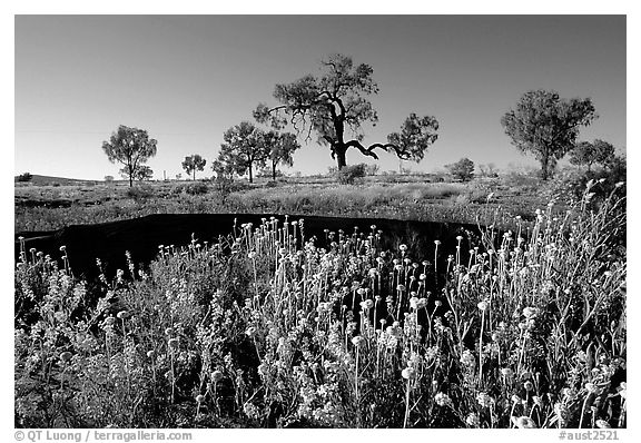 Wildflowers and trees. Northern Territories, Australia (black and white)