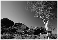 Gum tree in Kings Canyon, Watarrka National Park,. Northern Territories, Australia ( black and white)