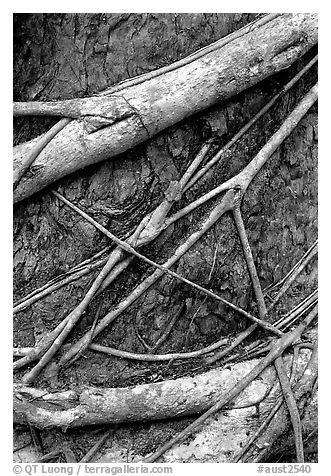 Strangler fig detail. Queensland, Australia (black and white)