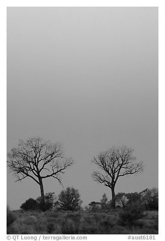 Trees at dawn. Northern Territories, Australia (black and white)