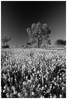 Wildflowers and trees. Northern Territories, Australia ( black and white)