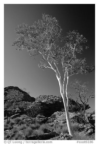 Gum tree in Kings Canyon, Watarrka National Park,. Northern Territories, Australia (black and white)