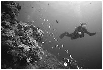 Scuba diver and school of fish. The Great Barrier Reef, Queensland, Australia (black and white)