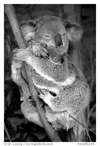 Black and white picture photo koala and cub australia